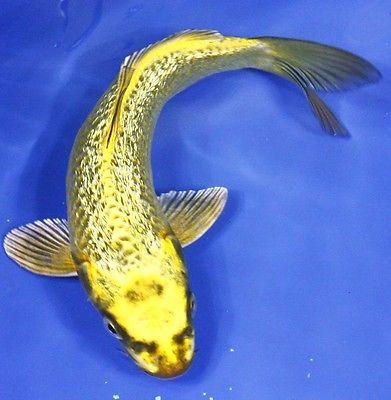7 gin rin kin matsuba standard fin live koi fish pond for Live butterfly koi fish for sale