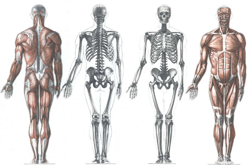 anatoref | anatomy and proportions top image row 2 & 3 row, Muscles