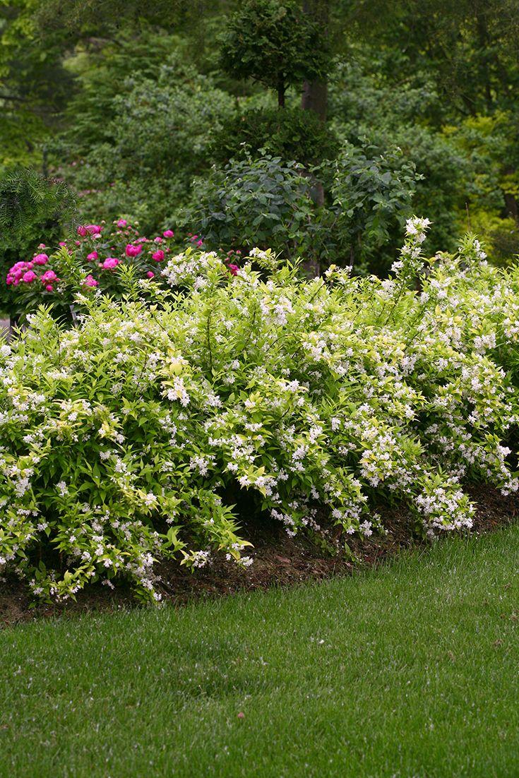 Chardonnay Pearls Deutzia Gracilis Garden Shrubs White
