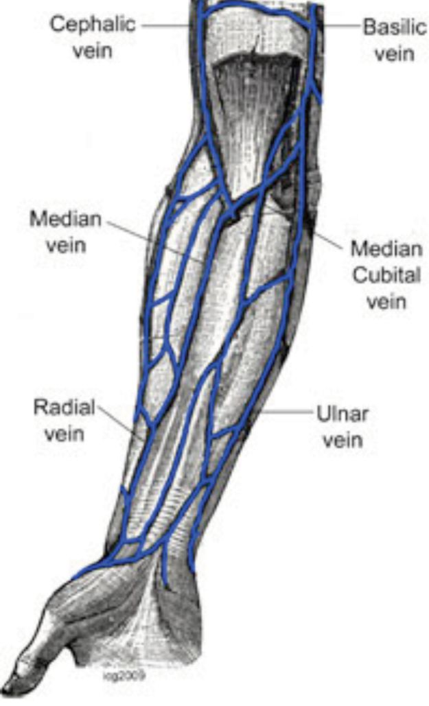 Arm venous anatomy