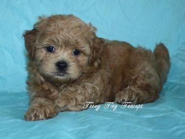 Shih Poo Puppies Teacup Poodle Puppies Shih Poo Puppies Shih Poo