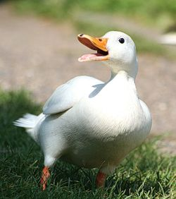 cooking tips on identifying different type of ducks and type of