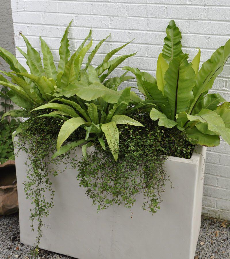 Outdoor Lightingdesign Ideas: Bird S Nest Ferns And Trailing Angel Vine Planter