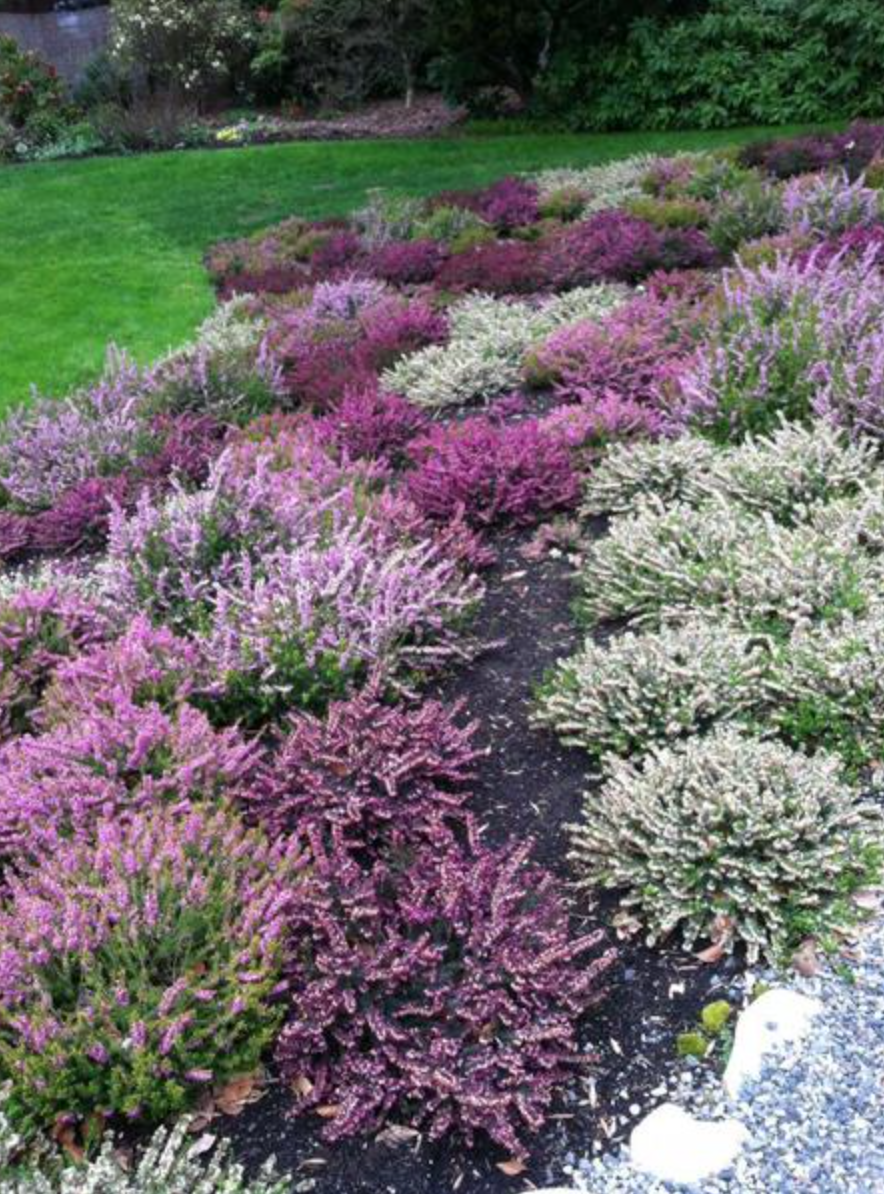 Multi Color Heather On The Slope Heather Gardens Heather Plant Garden Shrubs