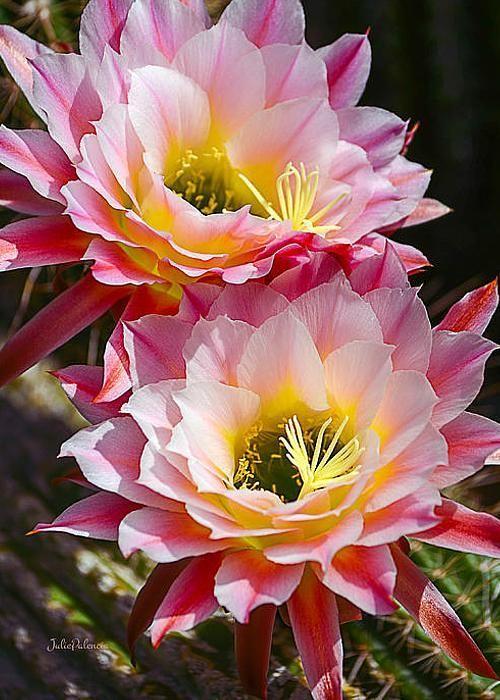 Blooming Cactus Greeting Card for Sale by Julie Palencia -  Blooming Cactus by Julie Palencia   Tfb  - #blooming #cactus #CactusFlower #card #ContainerGarden #FlowersGarden #greeting #Irises #julie #OrnamentalGrasses #palencia #PerennialGardens #Sale #ShadePerennials #ShadePlants
