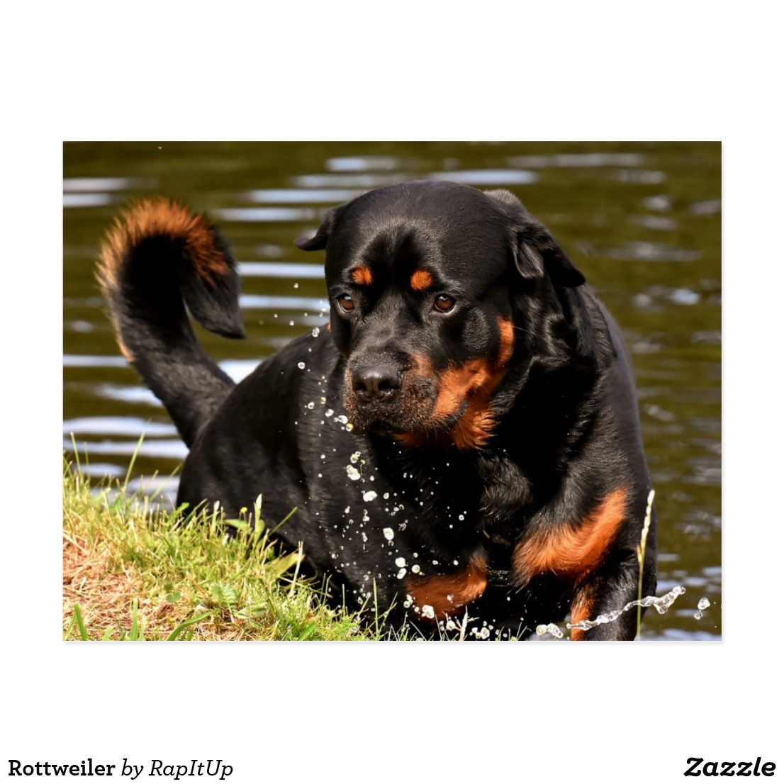 Rottweiler Postcard Zazzle Com Dog Breeds Rottweiler Dog