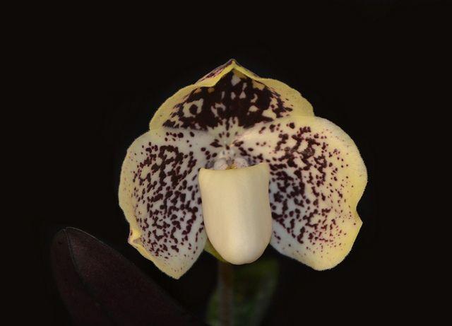 Paphiopedilum leucochilum - Flickr - Photo Sharing!