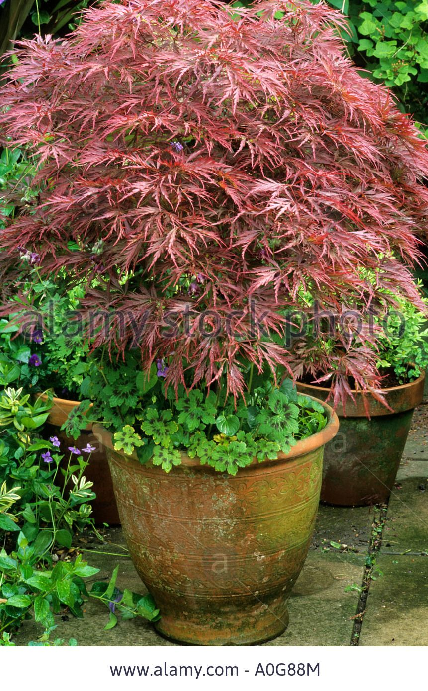 Acer palmatum dissectum in ceramic container planter pot for Japanese garden plants and trees