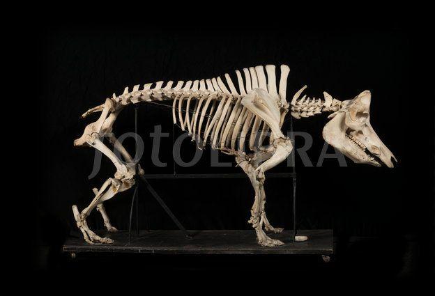 1155558-wild-boar-skeleton.jpeg (624×425)   Birds & Beasts ...