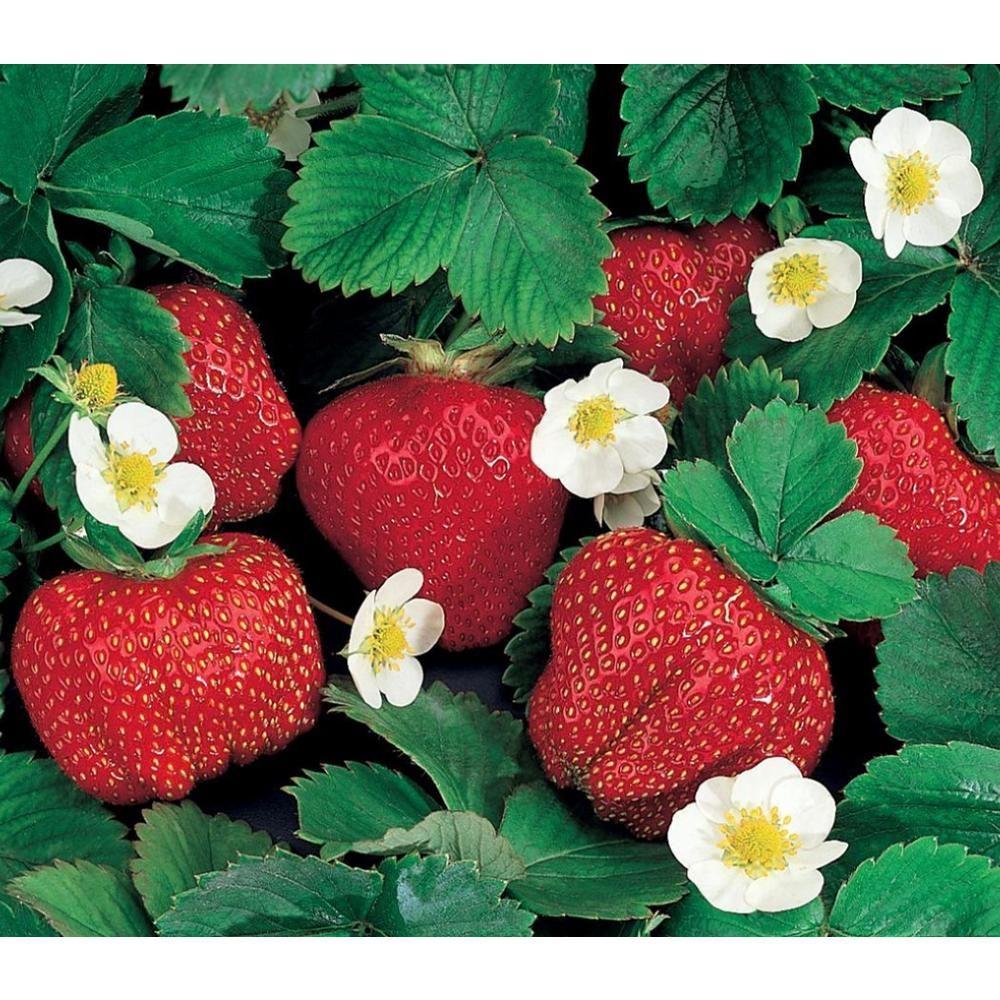 Gurneys ozark beauty strawberry plants 10pack03327