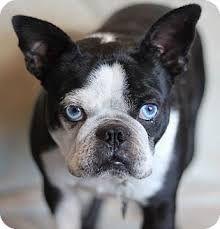 Image Result For French Bulldog Mix With Pekingese Boston