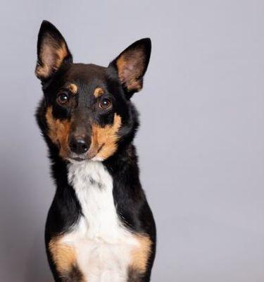 Scottsdale, AZ Basenji. Meet Radar (Sponsored) a Pet for
