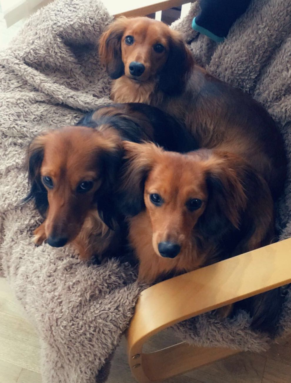 Red miniature long haired dachshunds dackel pinterest long