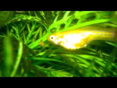 Aquarium For All Fish Blogspot New Born Fry Guppies Fish Guppy Fish Tank Wallpaper Guppy