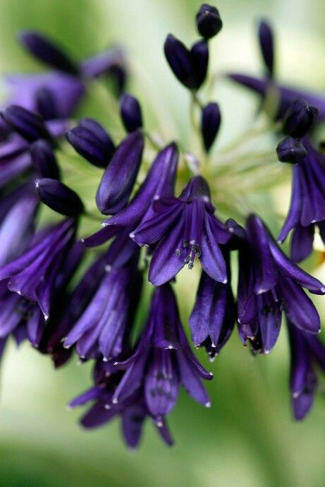 Pin By Laura Matthews On Flores Edging Plants Agapanthus Agapanthus Plant