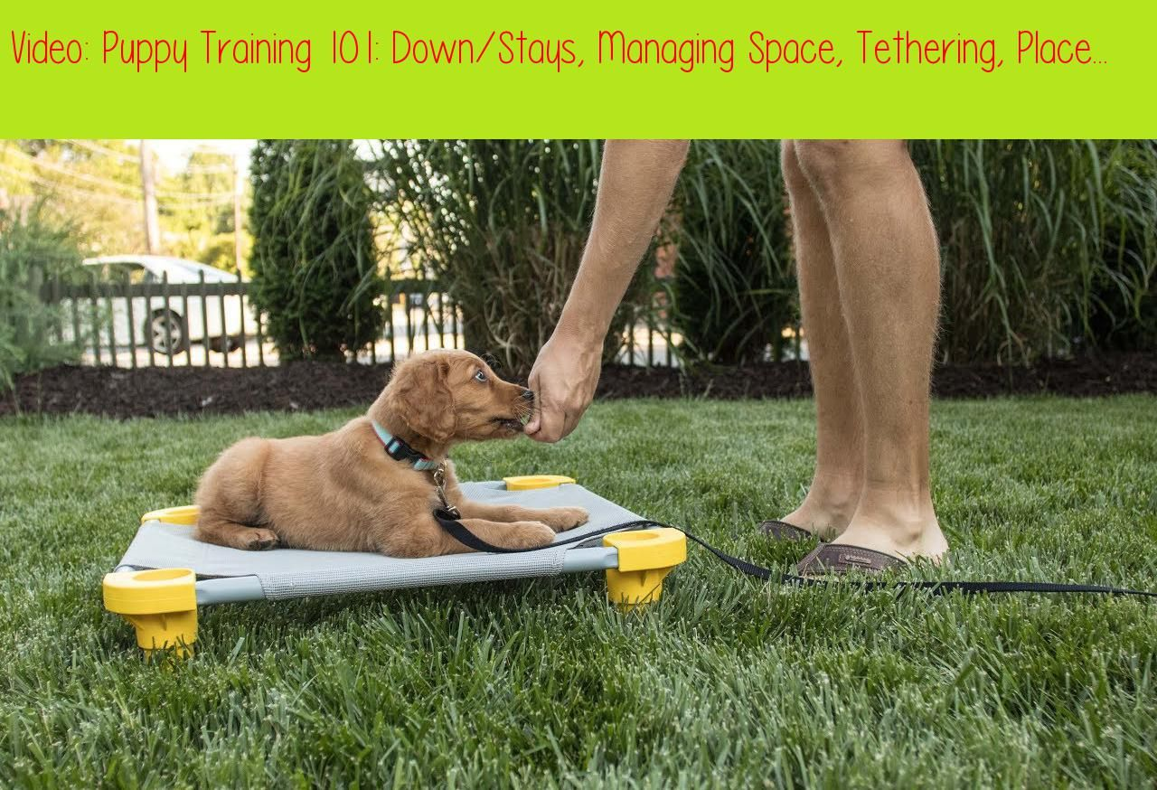 Puppy Training 101 Down Stays Managing Space Tethering Place