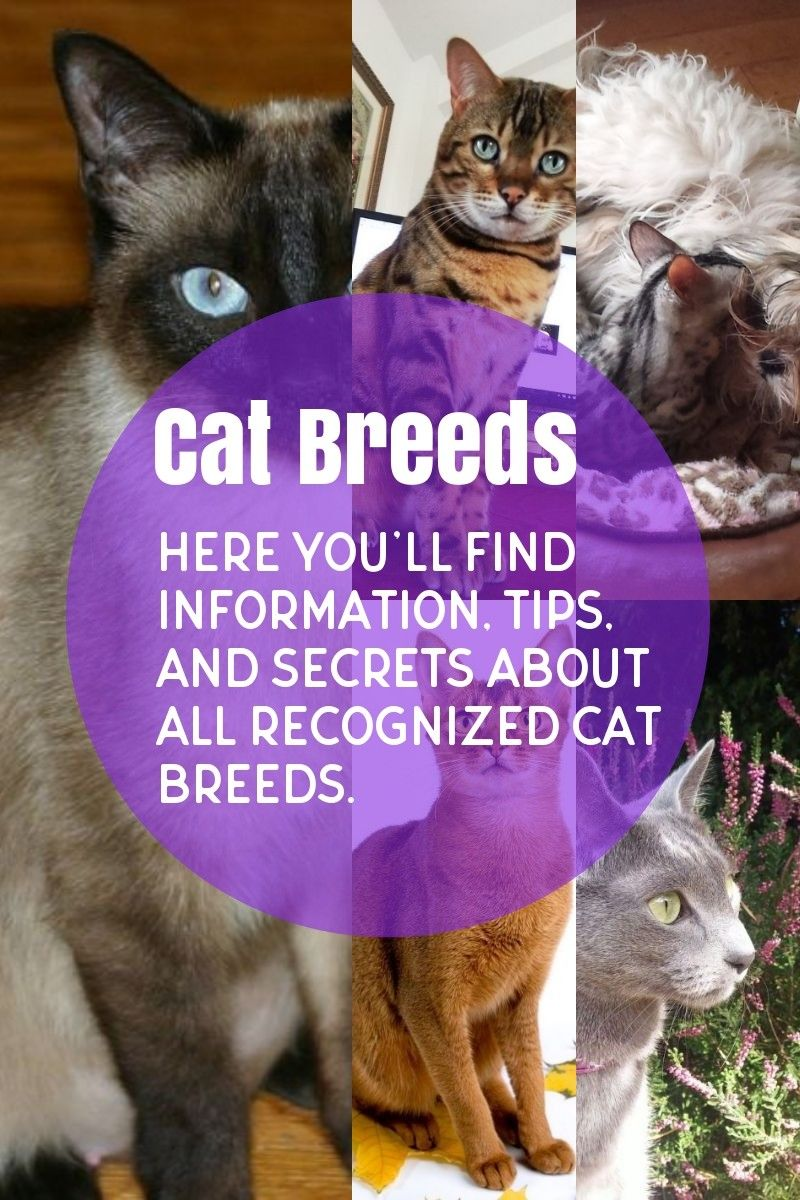 The Most Common Cat Breeds Cat breeds, Common cat breeds