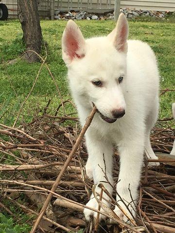 Siberian Husky Puppy For Sale In Joplin Mo Adn 27464 On
