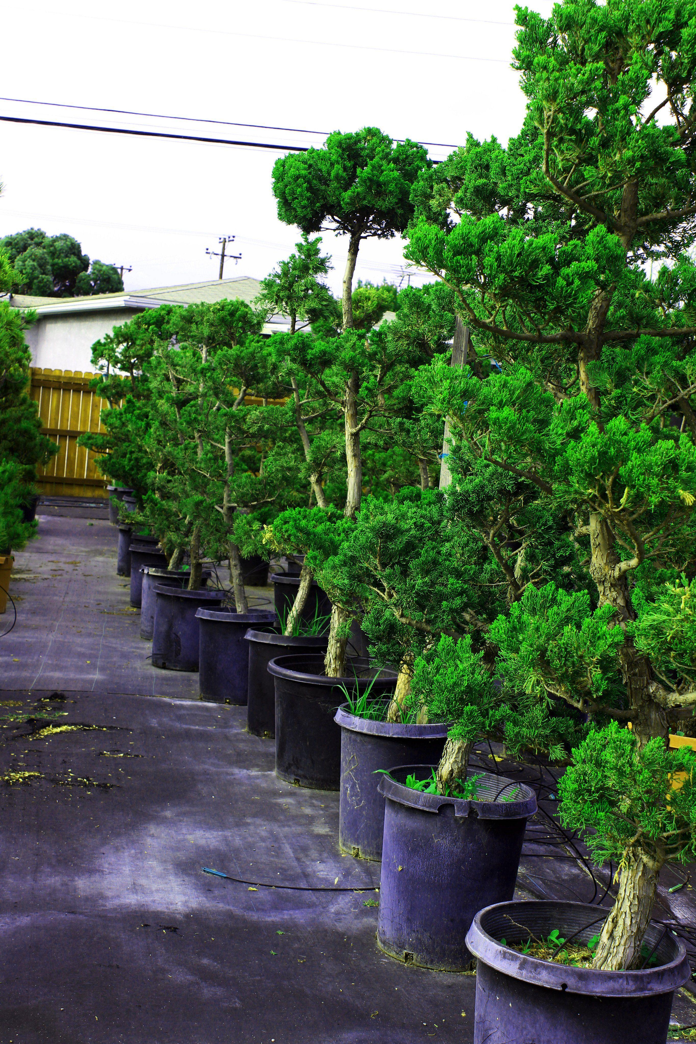 Hollywood Juniper Garden Bonsai Tree 15 Gallon Pot Garden Bonsai Tree Bonsai Garden Bonsai Tree