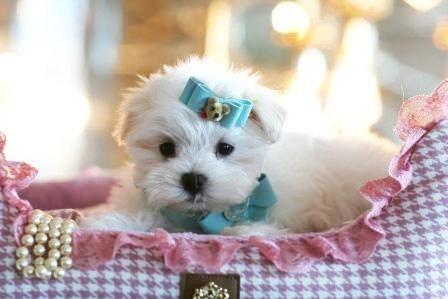 Teacup Maltese Puppies Florida Maltese Puppies For Sale Maltese Puppy Really Cute Puppies Teacup Puppies Maltese