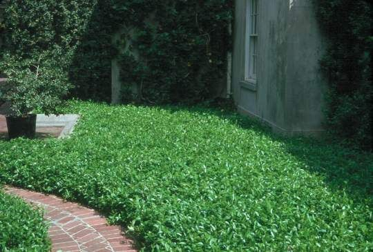 Asian Jasmin For The Ground Cover On The Shady Side Of The House Easy To Establish In Texas Drought Ground Cover Plants Jasmine Ground Cover Asian Jasmine