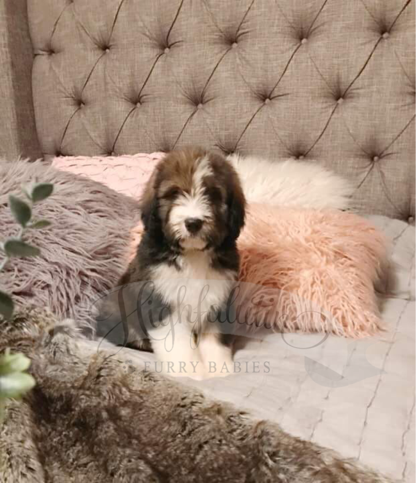 Highfalutin heart throb!   This Bernedoodle puppy is to die for!   Check out our website for more info on our program!   www.highfalutinfurrybabies.com