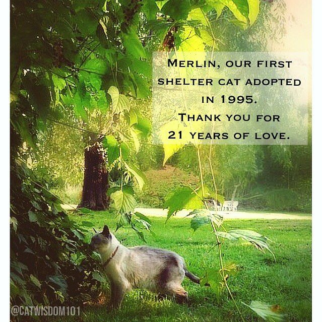 #tbt from 8/28/13 Merlin, forever loved soul cat muse and the original mascot when I founded the #annexcatrescue in 1997. He started me on my path of advocacy and a legacy of wisdom. #remembermethursday #soulmate #bns_cats #weeklyfluff #weekly_feature #re (scheduled via http://www.tailwindapp.com?utm_source=pinterest&utm_medium=twpin)