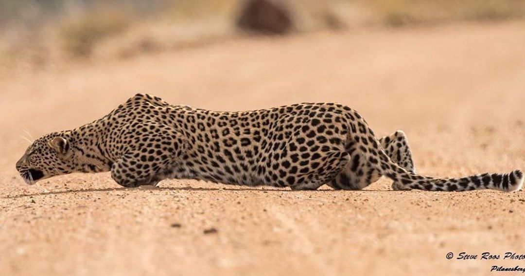 Leopard crawl, Pilanesberg NP in South Africa  by #wildographer  @roos.steve ・・・ * #Wildography ##wildlifephotography #canon #photooftheday #safari ...