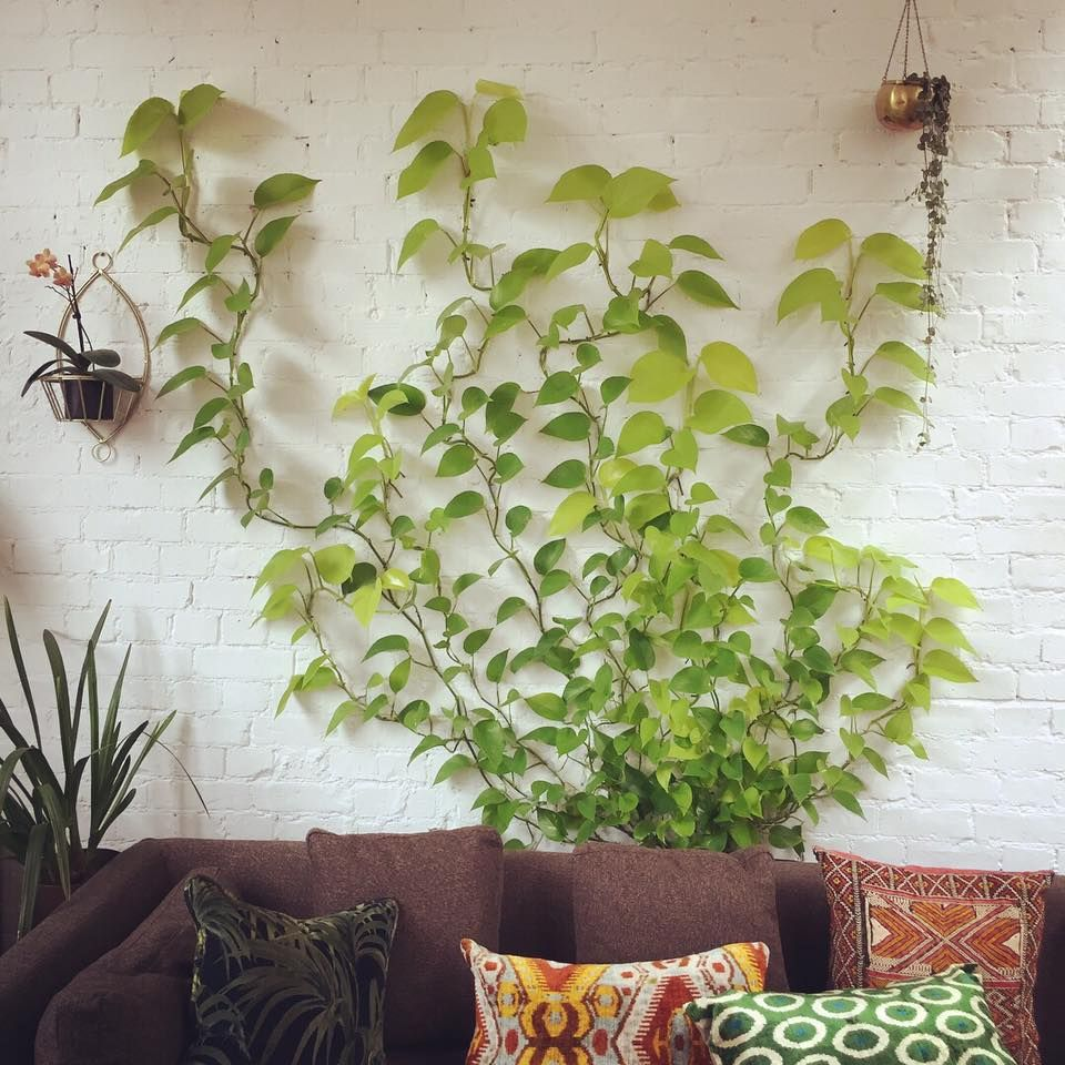 Jamie S Jungle Neon Pothos Trained With Command Hooks Climbing Plants Wall Climbing Plants Neon Pothos