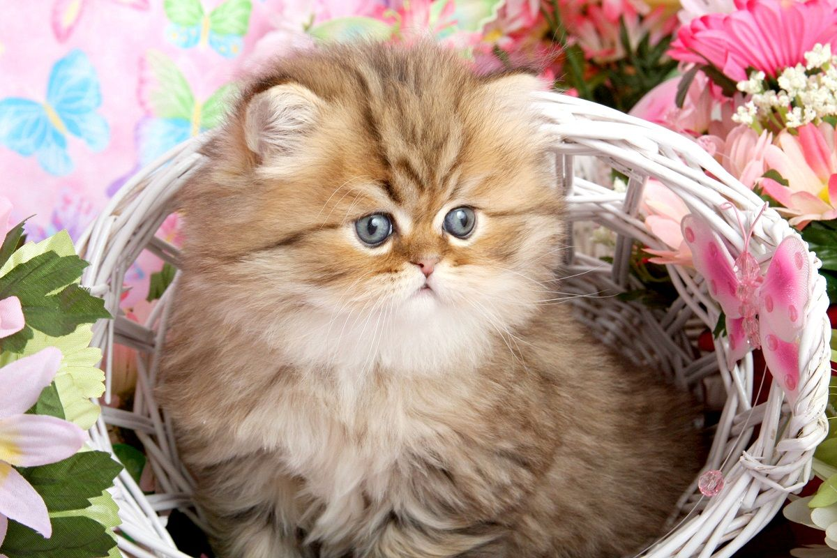 Persian Kitten In Basket Pinterest Image One