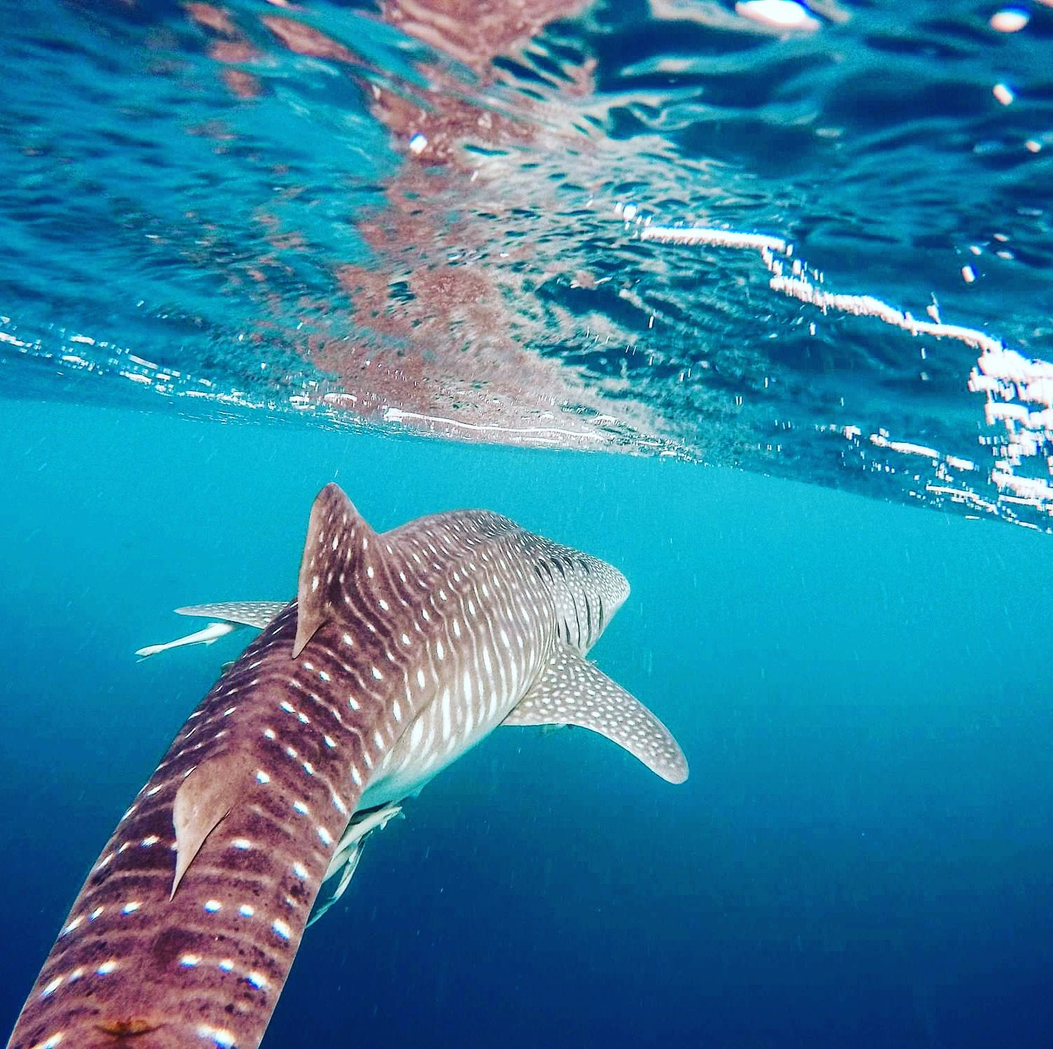 Snorkeling With Whale Shark During Ari Atoll Cruise