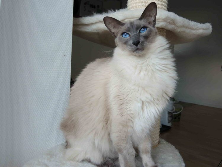 20 Most Affectionate Cat Breeds In The World In 2020 Balinese Cat Cat Colors Cat Breeds
