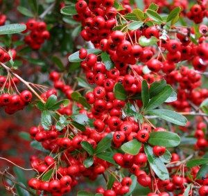 Varieties Of Pyracantha Resistant To Fire Blight Pretty Plants
