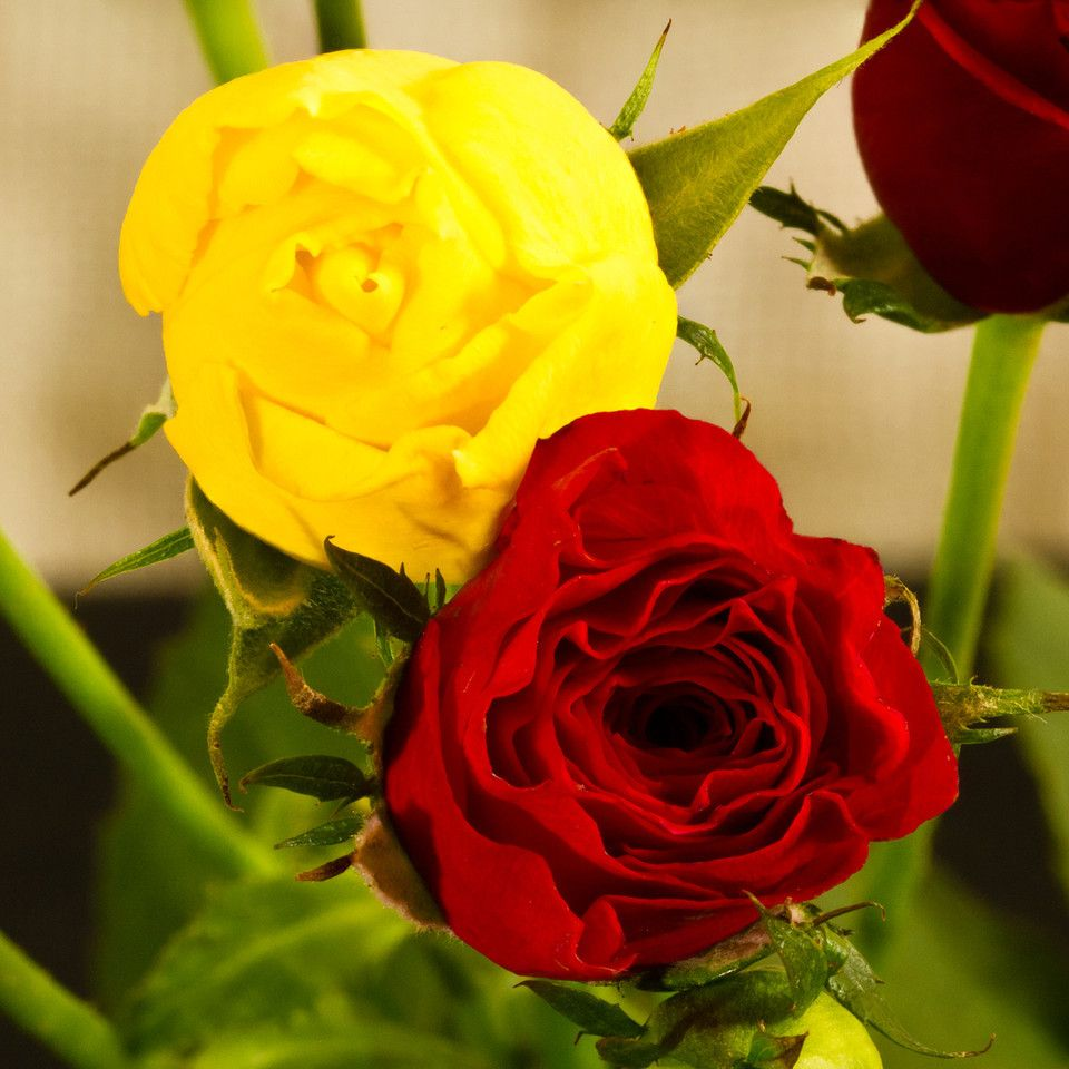Red Tip White With Yellow Rose   Re: Project 52 by Al (snarkbyte)