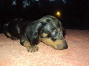 Mini Dachshund Puppy 13 Weeks Old Dachshunds For Sale