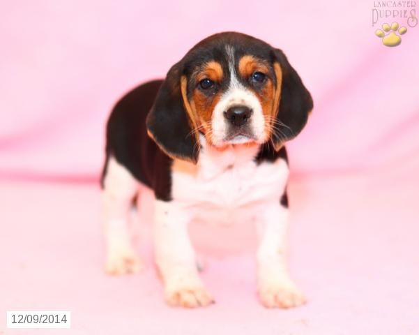 Beagle Puppy For Sale In Pennsylvania