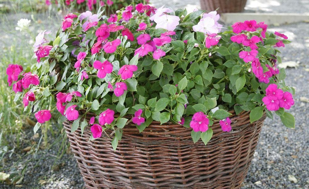 schattenpflanzen für balkonkästen | fleißiges lieschen, fleissig, Gartengerate ideen