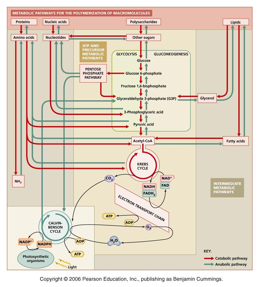 medium resolution of integration and regulation of metabolic pathways