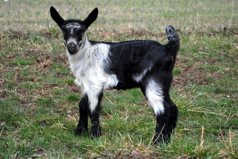 Alpine Goat Alpine Goats Goat Farming Goats