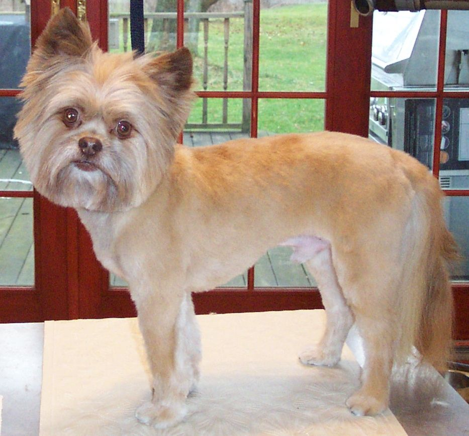 Pomeranian Shih Tzu Mix Veo Is Clipped Short On The Body And Has A Full Head And Tail Dog Haircuts Designer Dogs Shih Tzu Mix