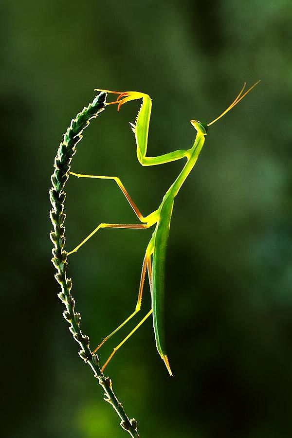 The Elegance of Dance - #Mantis hermosa