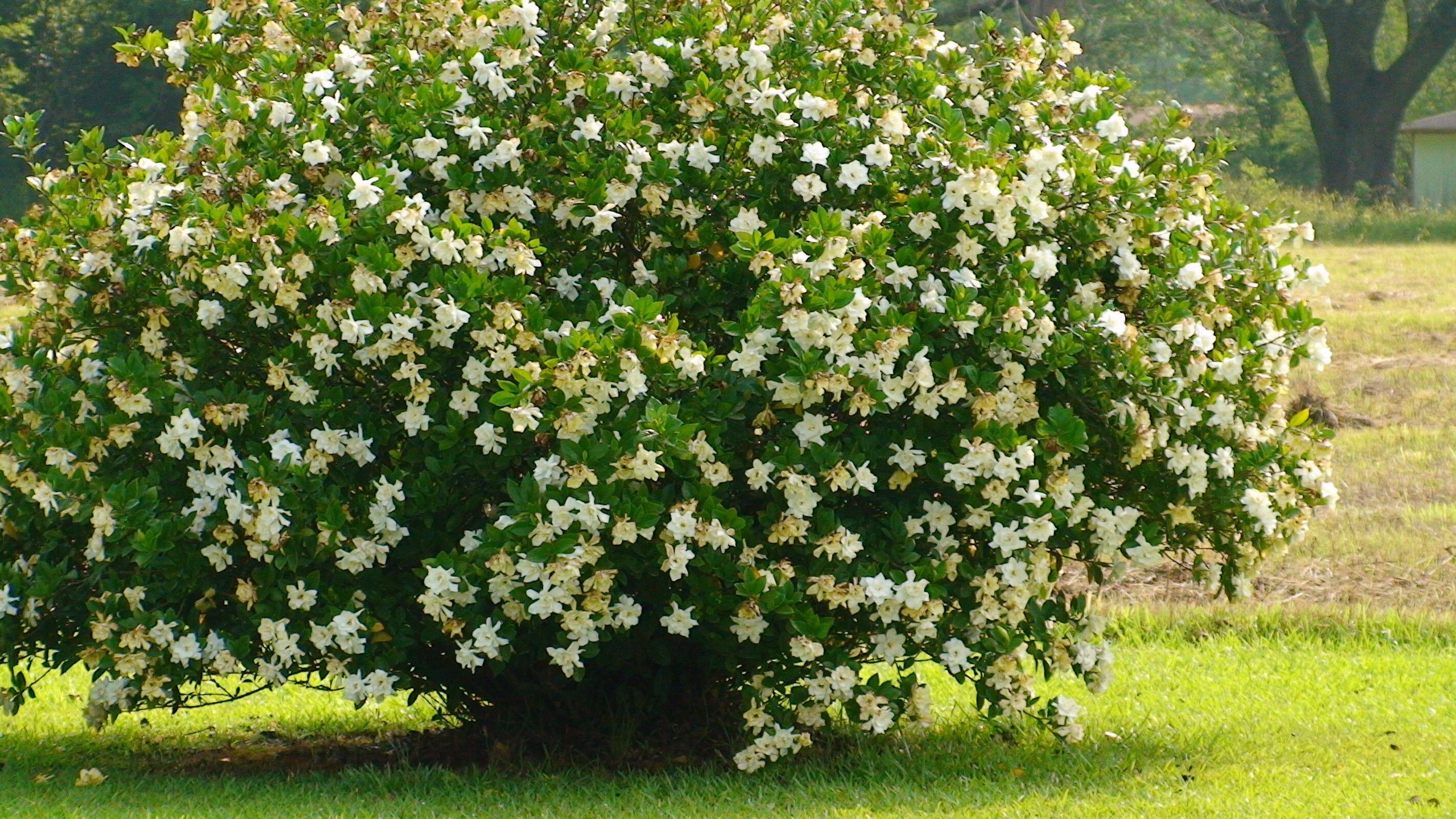 Kletterbogen Pflanzen : My gardenia bush garden and outdoor spaces pinterest