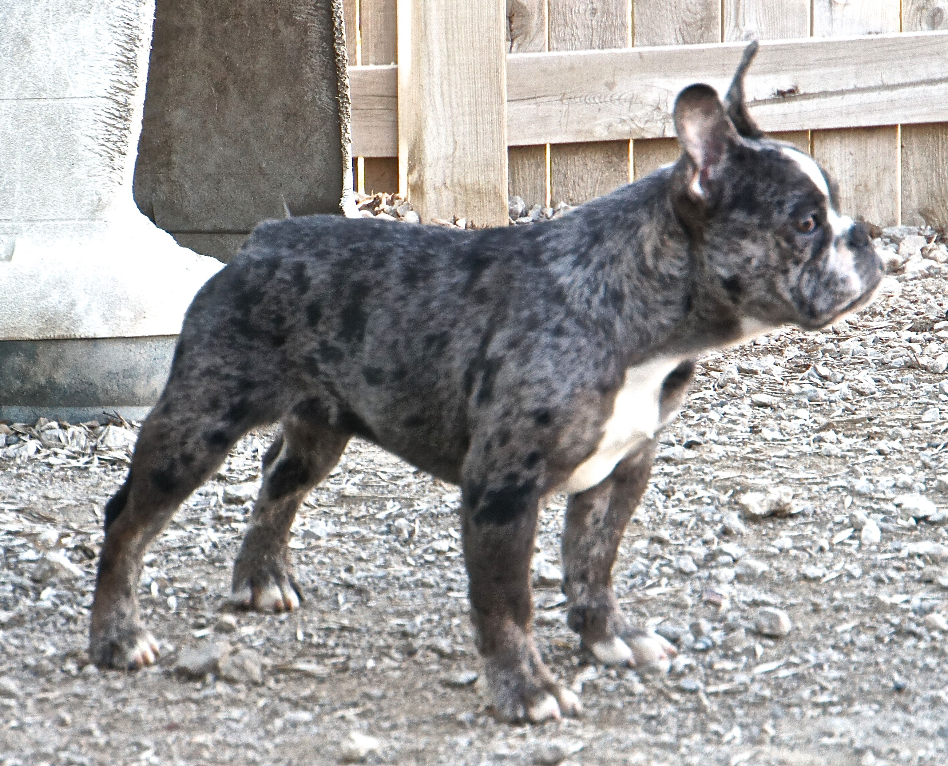 Keeper female from Paisley & Remmy Lap dogs, Small dogs