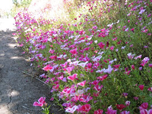Gallery For Clarkia Amoena Seeds Country Gardening English Country Gardens Wild Flowers