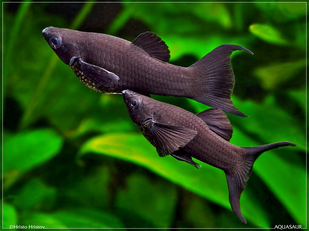 black molly pair frolicking about | poissons | Pinterest | Aquariums ...