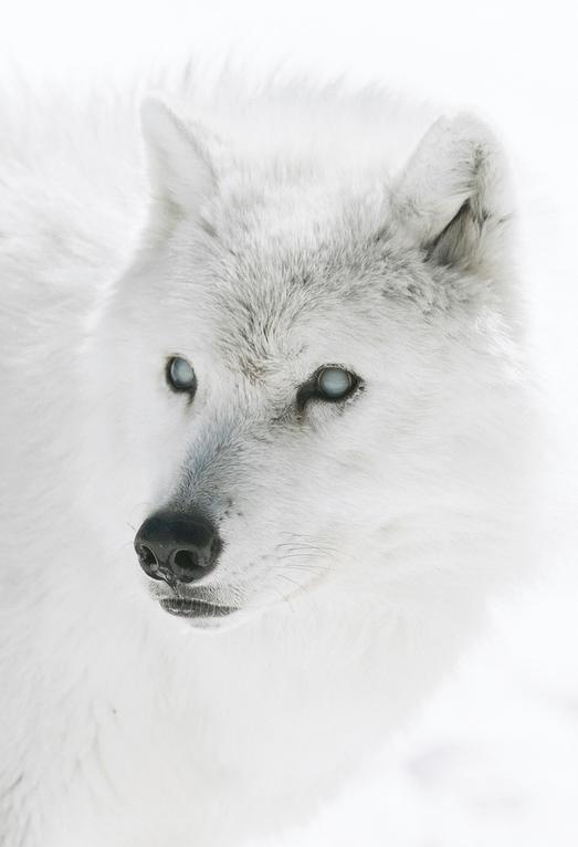 Белый волк картинки 5 класс, картинки надписью добрых