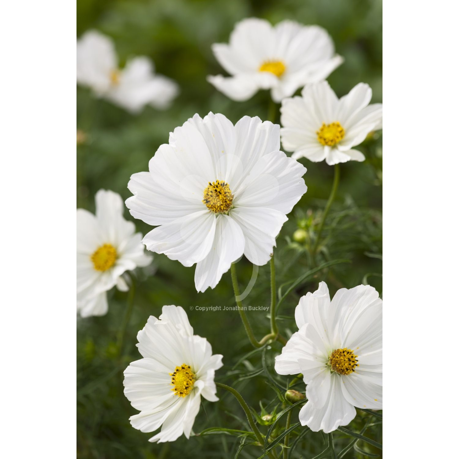 Cosmos Sonata White Flowers Pinterest Cosmos Flowers And
