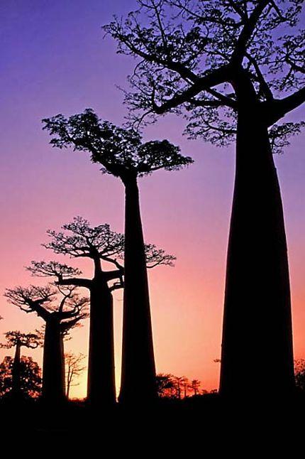 Baobab Madagascar En 2020 Allee Des Baobabs Le Baobab Et