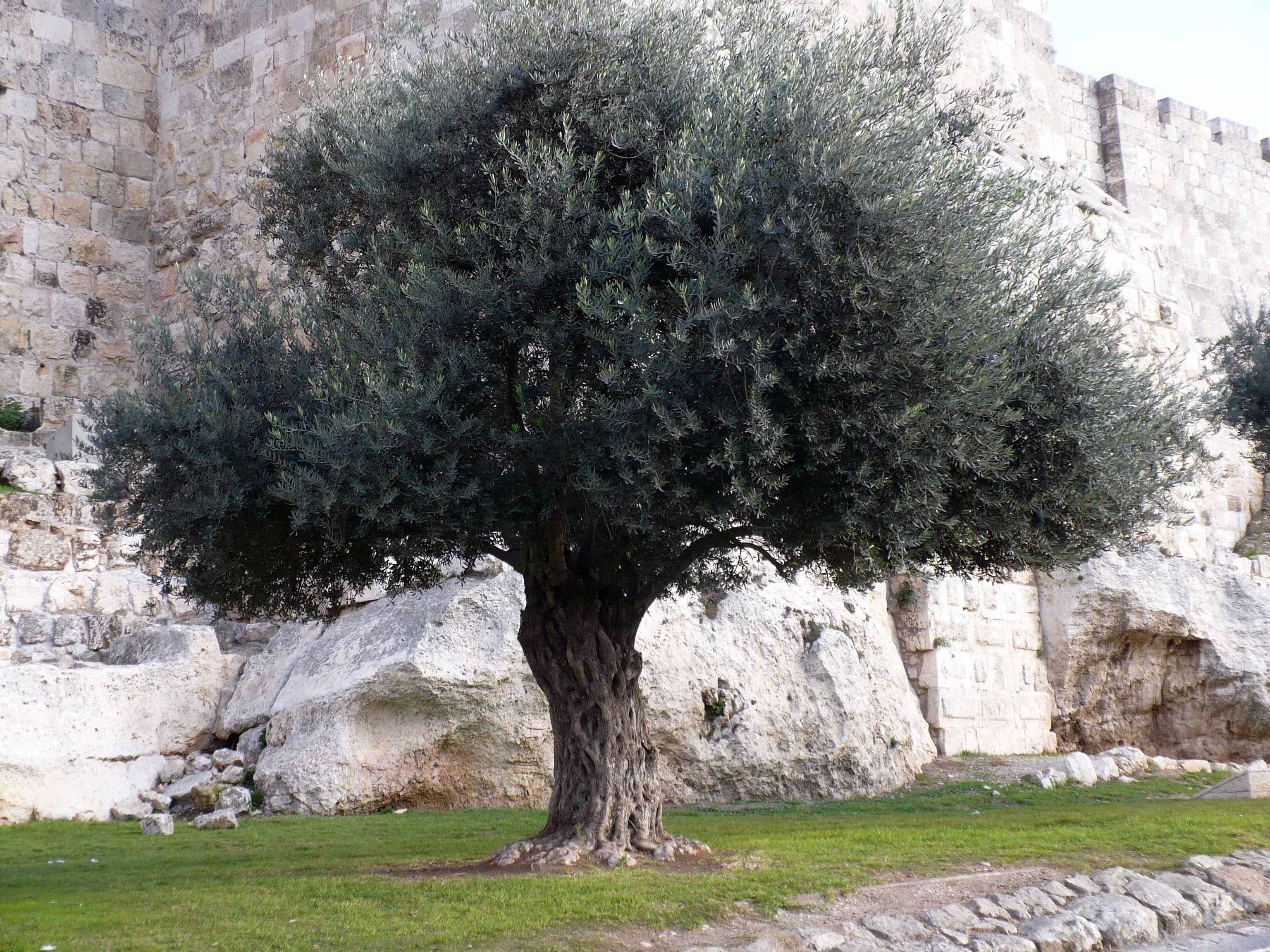 Israel part 5 amen olive trees jesus prayed at the olive tree a symbol of gods enduring purposes buycottarizona Choice Image