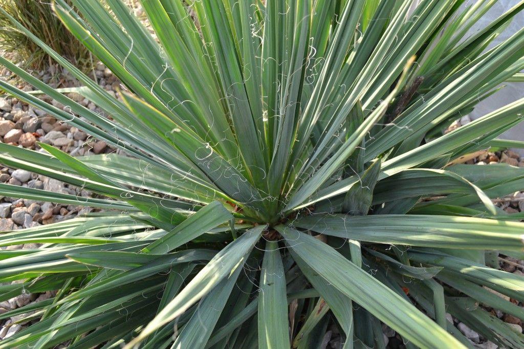 Yucca Filamentosa Yucca Filamentosa Yucca Plants